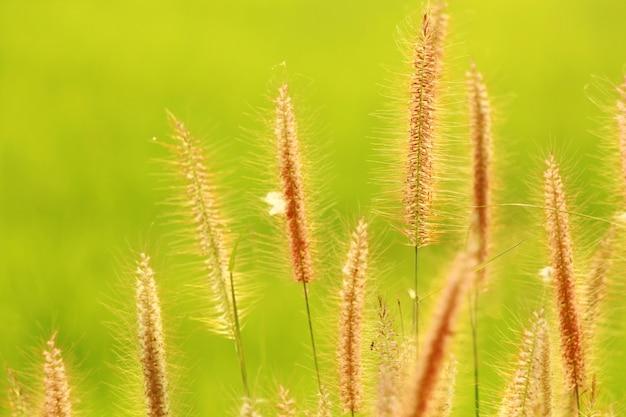 Foco de flores de grama com fundo desfocado na temporada de verão