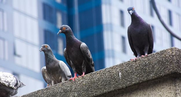 Foco de pombos agarram-se no chão de cimento na cidade com fundo da cidade