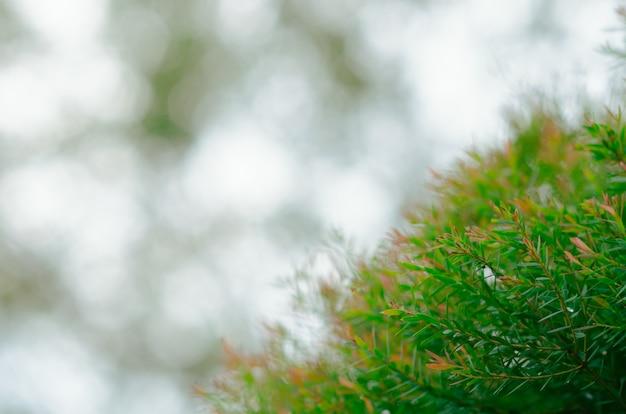 Foco e foto desfocada da cor verde e vermelha honey myrtle sai com o fundo da luz do bokeh.