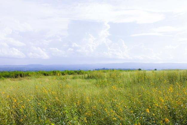 Foco macio do campo amarelo sob o céu azul. fundo da natureza