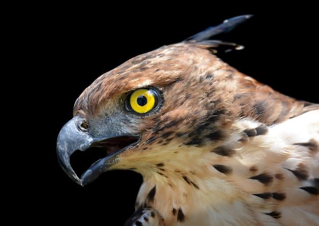 Foco principal da águia mutável do falcão