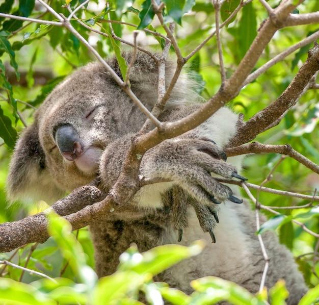 Foco raso, ângulo baixo, close-up, foto de um coala dormindo em um galho de árvore