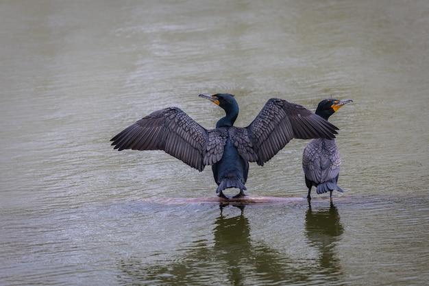 Foco raso de corvos-marinhos com asas espalhadas na água