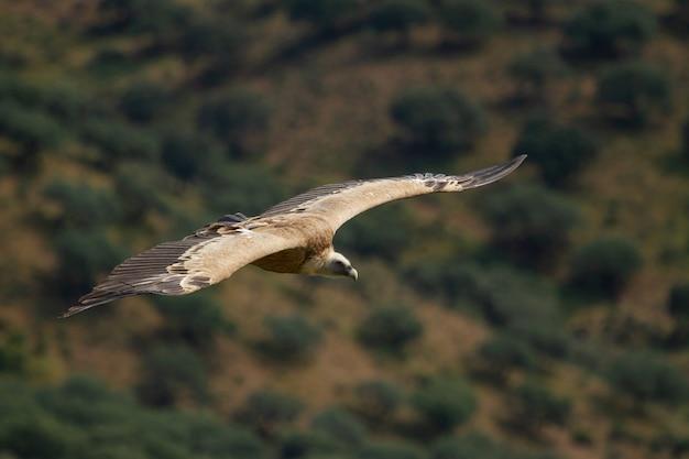 Foco raso de um abutre-grifo (gyps fulvus) voando com as asas abertas