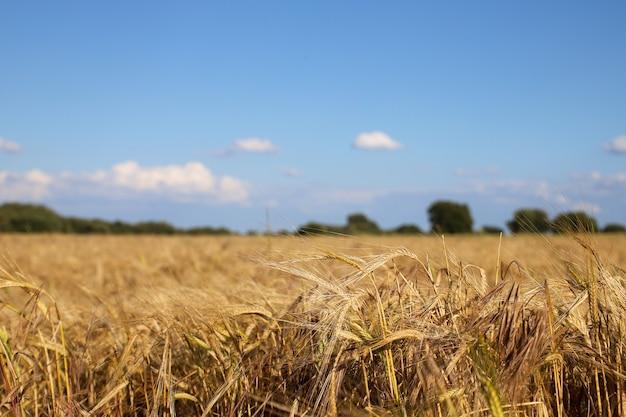 Foco raso de um campo de trigo com um céu azul borrado