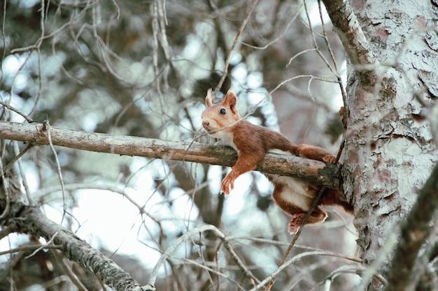 Foco raso de um esquilo-vermelho escalando um galho de árvore