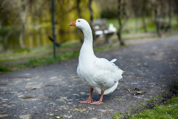 Foco raso de um ganso branco parado na estrada do parque