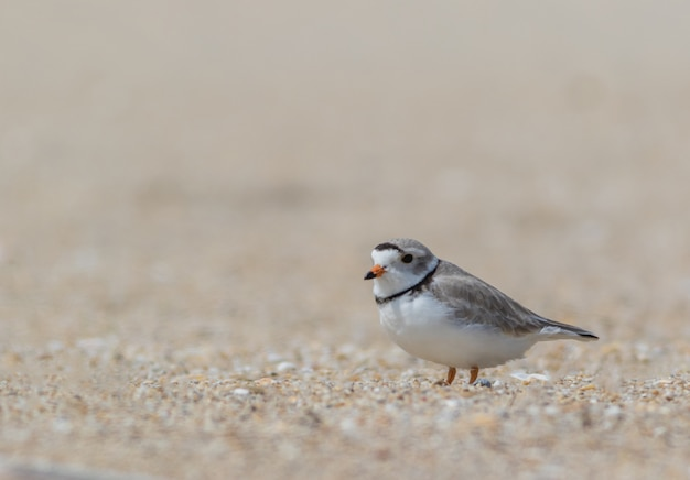 Foco raso de um pequeno pássaro em um dia sombrio na praia