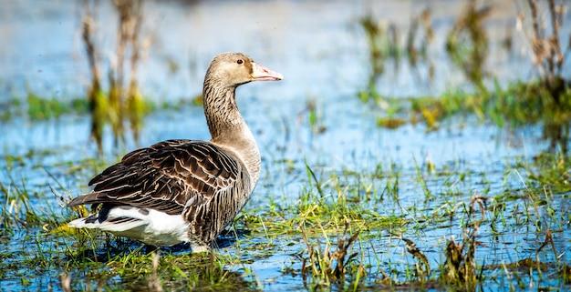 Foco raso em close de um ganso cinzento nadando em um lago