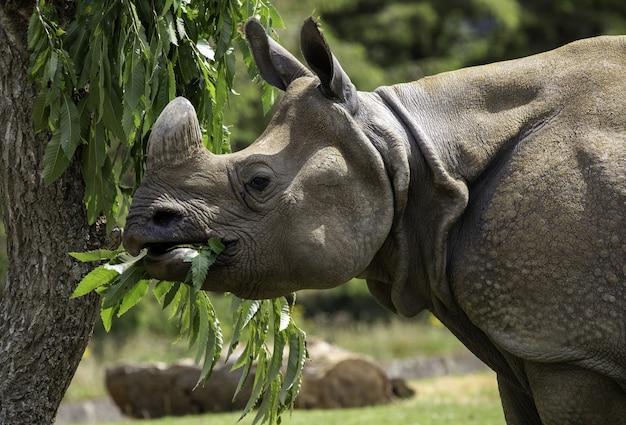 Foco raso em close de um rinoceronte cinza comendo as folhas verdes de uma árvore