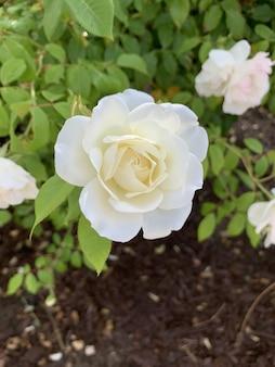 Foco raso vertical close-up de uma flor rosa branca em um parque