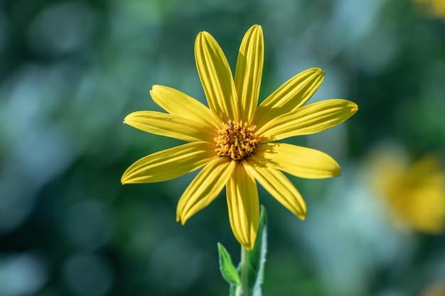 Foco seletivo a flor de alcachofra de jerusalém. (helianthus tuberosus) também chamada de maçã do sol, raiz de sunchoke ou terra.