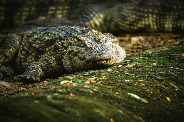 Foco seletivo animais perigosos crocodilo