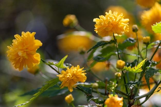 Foco seletivo close up de crisântemos amarelos florescendo