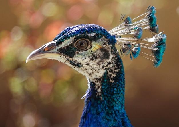 Foco seletivo da cabeça de um lindo pavão azul