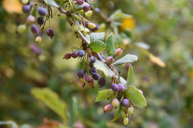 Foco seletivo da maturação das bérberis nos galhos das árvores no jardim