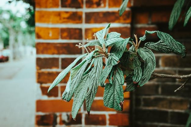 Foco seletivo das belas folhas estampadas da planta leatherleaf viburnum