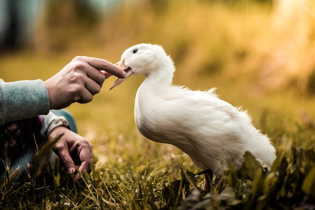 Foco seletivo de alguém segurando o bico do pato branco com as mãos