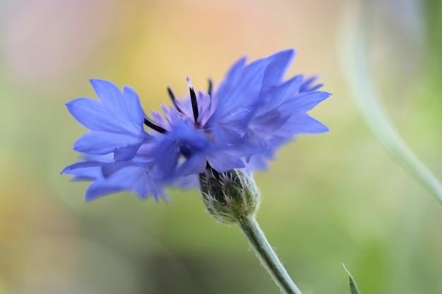 Foco seletivo de close up de uma flor azul desabrochando em um fundo verde