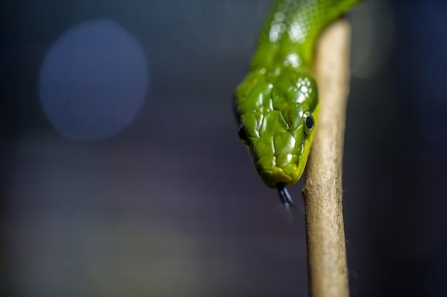 Foco seletivo de cobra verde