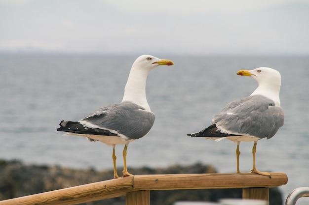 Foco seletivo de duas gaivotas empoleiradas em um corrimão de madeira perto de uma costa