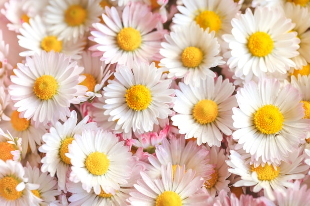 Foco seletivo de estilo de cor vintage de flores margarida para fundo de natureza