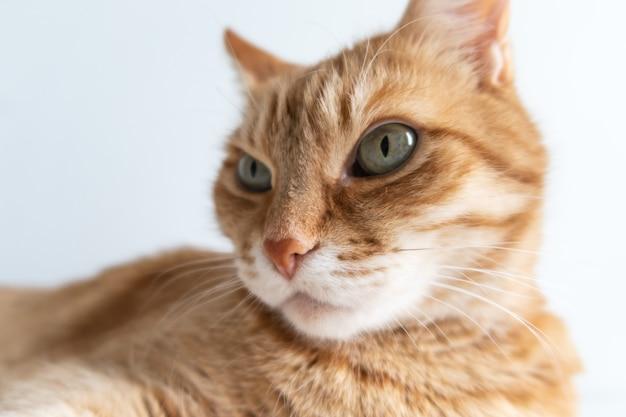 Foco seletivo de gato ruivo fofo