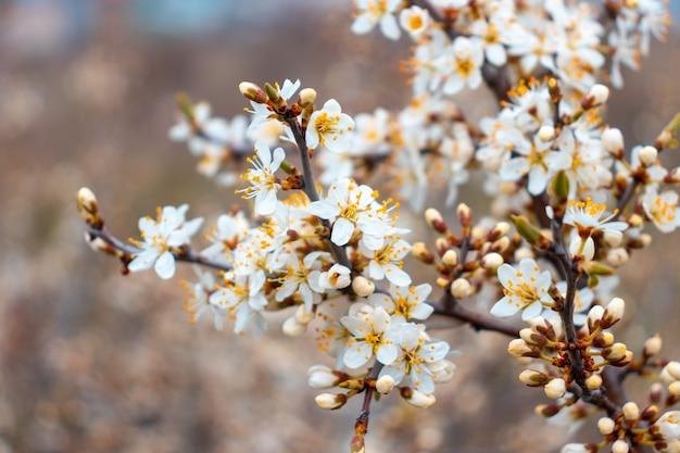 Foco seletivo de lindas flores de ameixa-cereja e árvores frutíferas