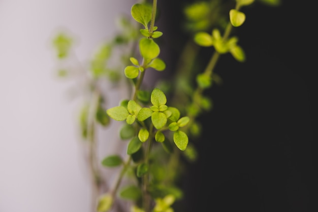 Foco seletivo de pequeno tomilho-limão crescendo sob as luzes