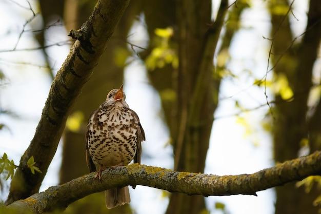 Foco seletivo de song thrush cantando em um galho de árvore na floresta