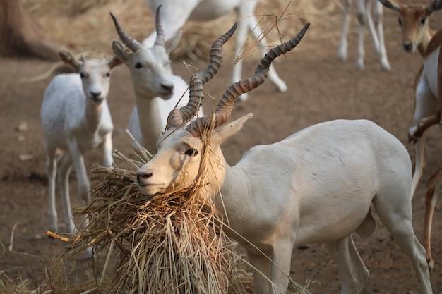 Foco seletivo de um blackbuck albino macho com grama seca sob o queixo