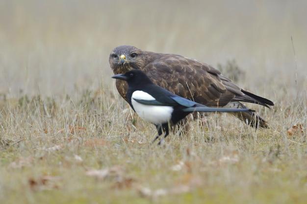 Foco seletivo de um corvo e um falcão em um campo coberto de grama