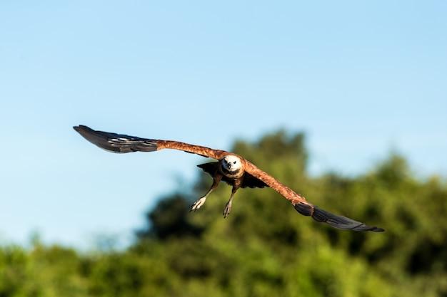 Foco seletivo de um falcão voador sob a luz do sol e um céu azul