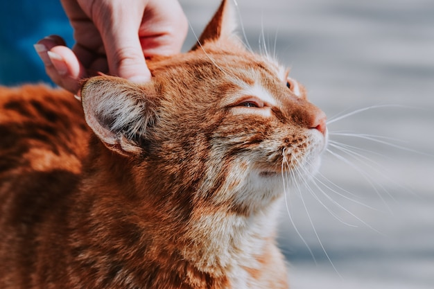 Foco seletivo de um gato laranja sendo segurado na cabeça por seu dono