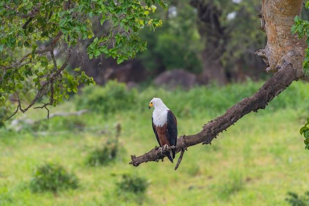 Foco seletivo de uma águia-pescadora africana em pé em um galho de árvore em um campo sob a luz do sol