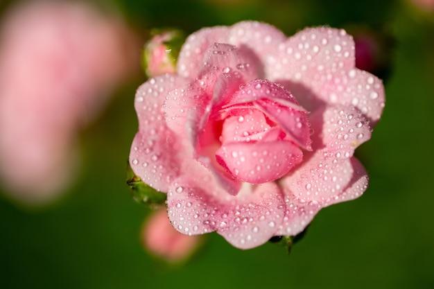 Foco seletivo de uma flor rosa com algumas gotas em suas pétalas