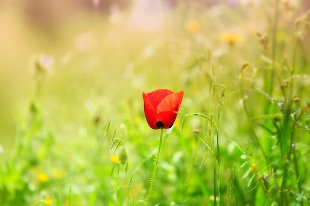 Foco seletivo de uma papoula vermelha em um campo sob a luz do sol
