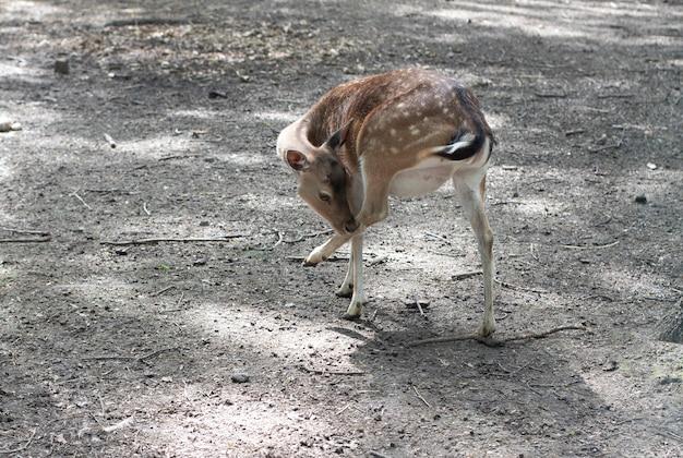 Foco seletivo do bebê veado bambi. cena da vida selvagem da natureza. jovem lindo corço. animais selvagens