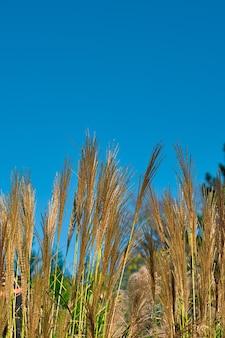 Foco seletivo em hastes verdes de cereais ornamentais no jardim contra o céu azul. dia ensolarado.