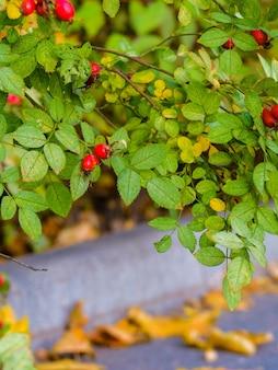 Foco seletivo em roseiras vermelhas em um arbusto em um dia de outono