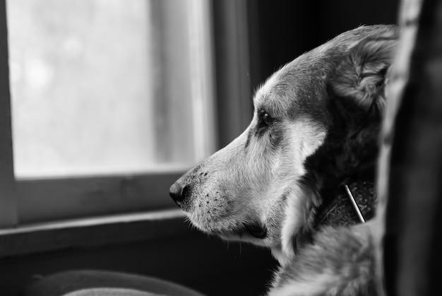 Foco seletivo em tons de cinza quente de um cachorro triste olhando pela janela