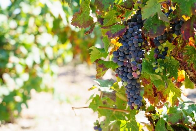 Foco seletivo em um cacho de uva pendurado em uma árvore em um vinhedo com uvas pretas