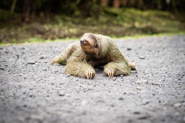Foco seletivo em uma preguiça cruzando uma estrada tropical. vida selvagem na costa rica