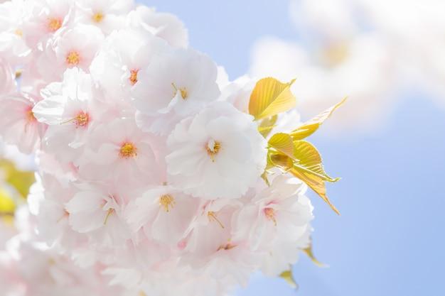 Foco seletivo flor de cerejeira sakura no japão com fundo desfocado céu azul