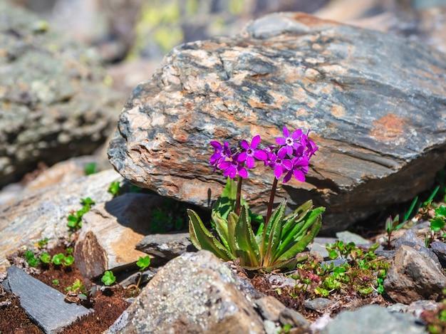 Foco seletivo. fundo de flores de prímula de montanha roxa. planta roxa de bush primrose com pequena flor roxa crescendo em um jardim de pedra