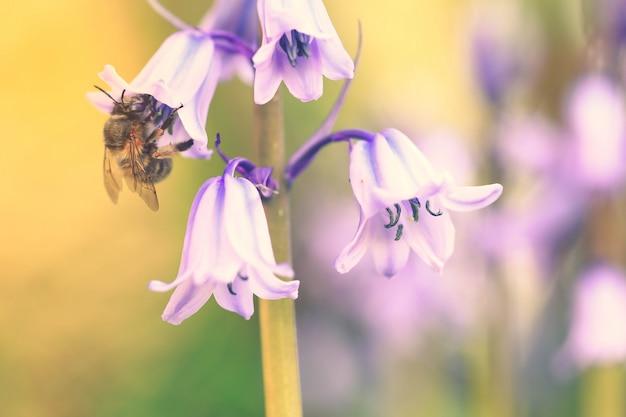 Foco seletivo na abelha, flor bluebell (hyacinthoides non-scripta) em flor