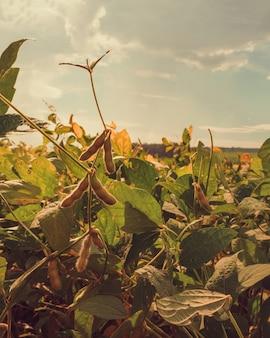 Foco seletivo na plantação de soja iluminada.