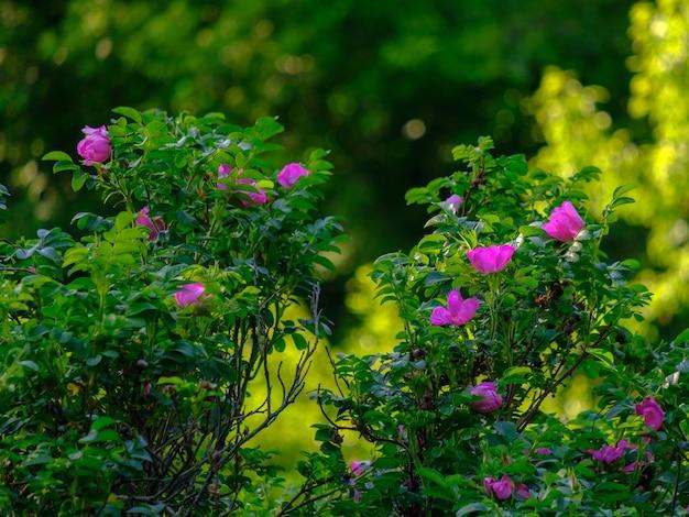 Foco seletivo nas cores roxas de uma roseira