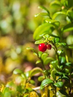 Foco seletivo. nas profundezas da floresta. floresta ensolarada com cranberries. close-up de frutos silvestres. visão vertical.