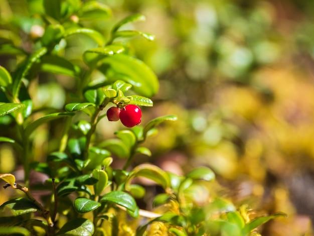 Foco seletivo. nas profundezas da floresta. floresta ensolarada com cranberries. close-up de frutos silvestres.